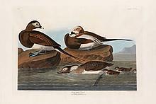 John James Audubon, Plate 312: