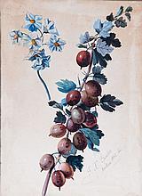 Franz Xaver Gruber (1801-1862), Etudes de prunes et pruneaux, deux aquarelles et gouache sur papier, signees et datees 1842, 33x24 cms