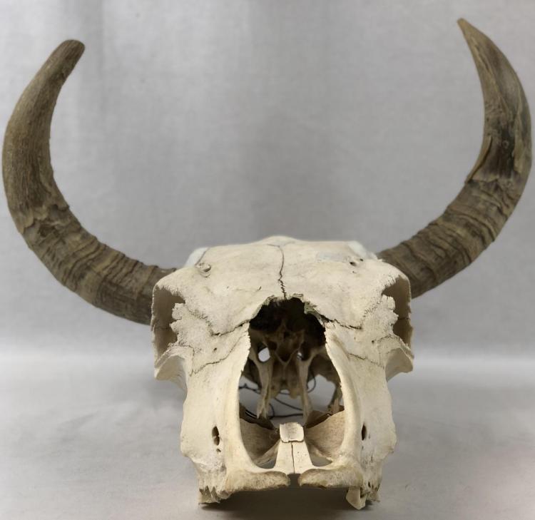 Lot 37: Buried Alive (2007) - Cow Skull Set Dress Prop