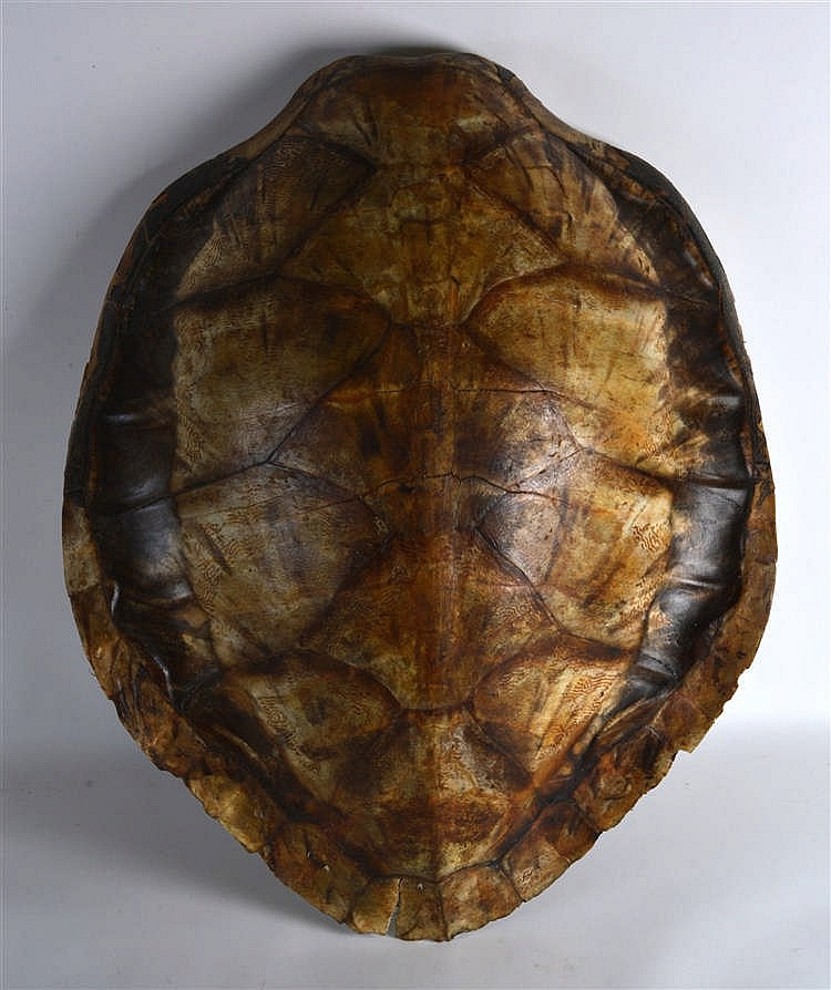 A Large Antique Blonde Wall Hanging Tortoise Shell 2ft 7ins