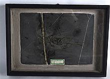 A PREHISTORIC CASED KEICHORSAURUS FOSSIL C245-230 million years BC. Fossil