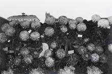 Lee Friedlander (American, b. 1934) Photographs of Flowers, 1974