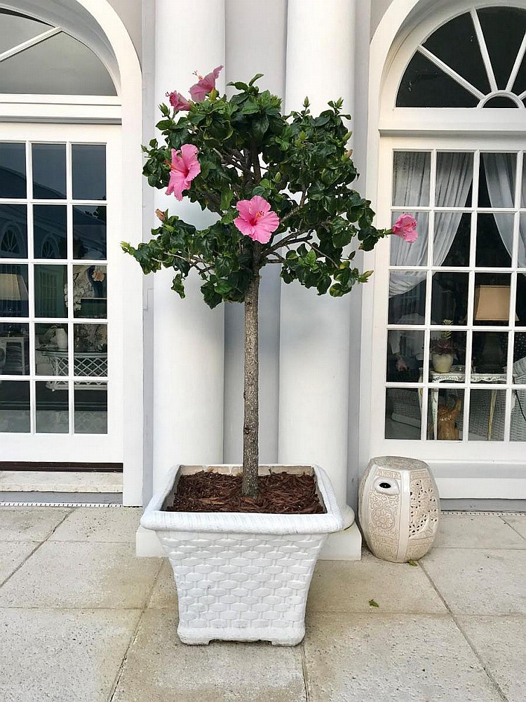 """Pair of Cement Basket Weave Planters - White washed cement, trapezoidal shape, can include live hibiscus tree. Condition: Good, one planter has a crack on one side starting from rim. Dimensions: 20"""" H x 25"""" W x 25"""" D."""
