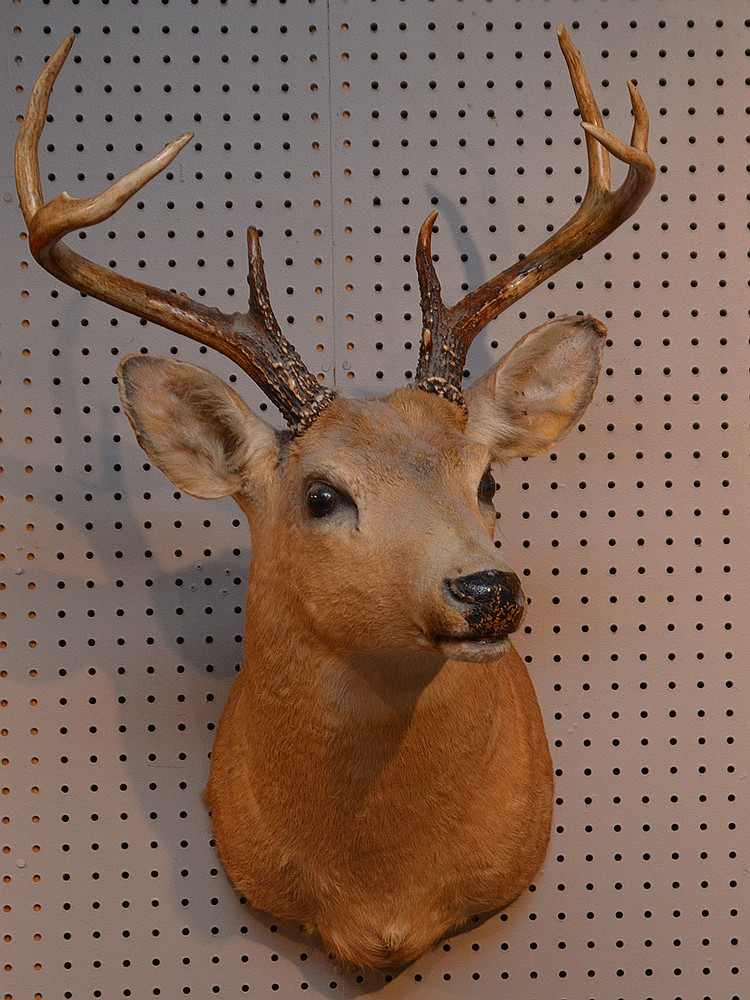 Deer Trophy Mount, 31in. x 19in.