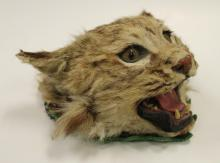 Taxidermied Bobcat Head Mount