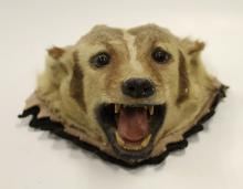 Taxidermied Badger Head Mount
