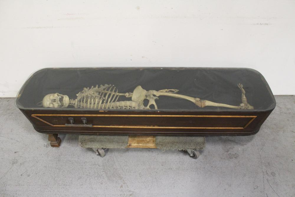 A human skeleton w/ antique wood coffin & glass cover