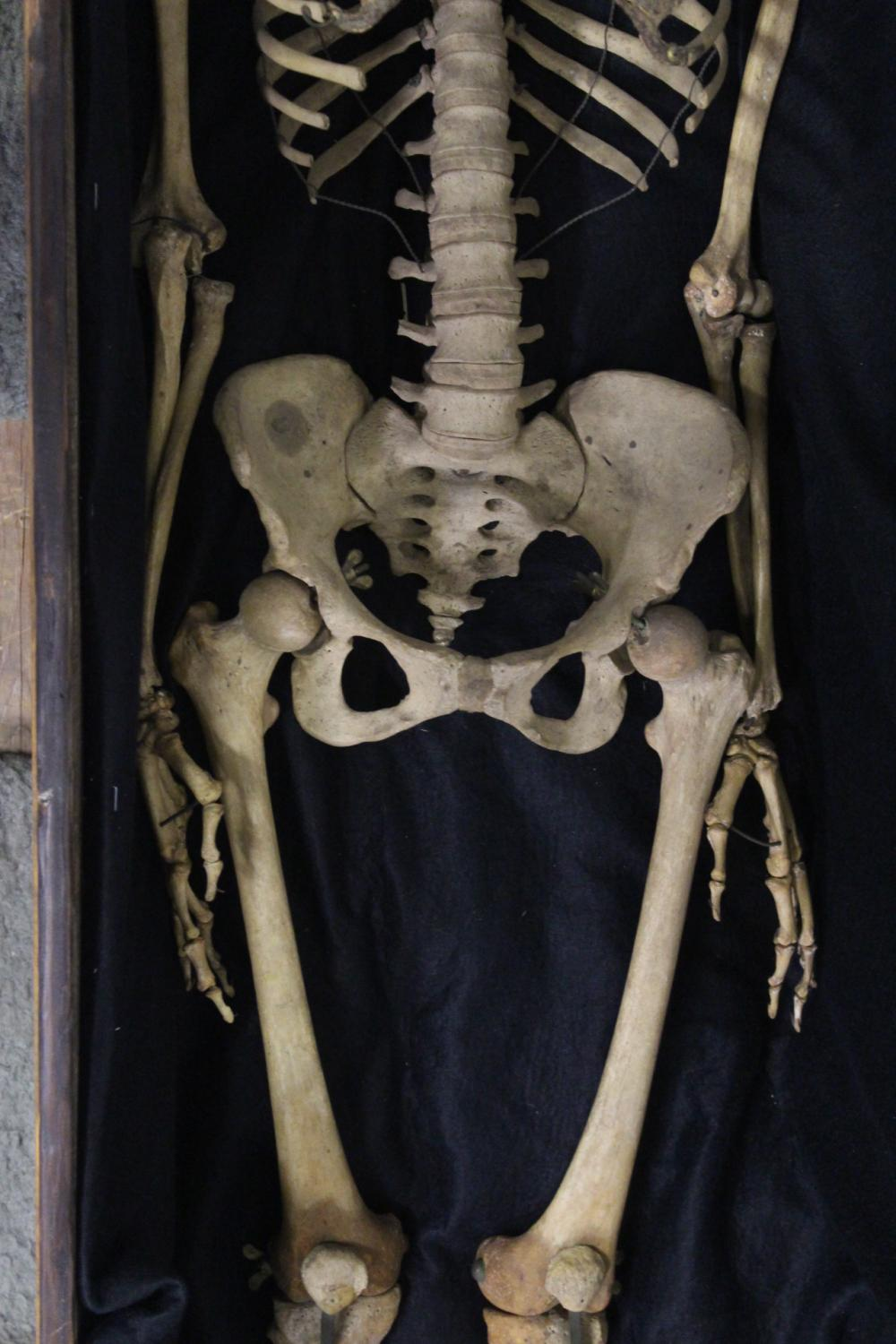 Lot 181: A human skeleton w/ antique wood coffin & glass cover
