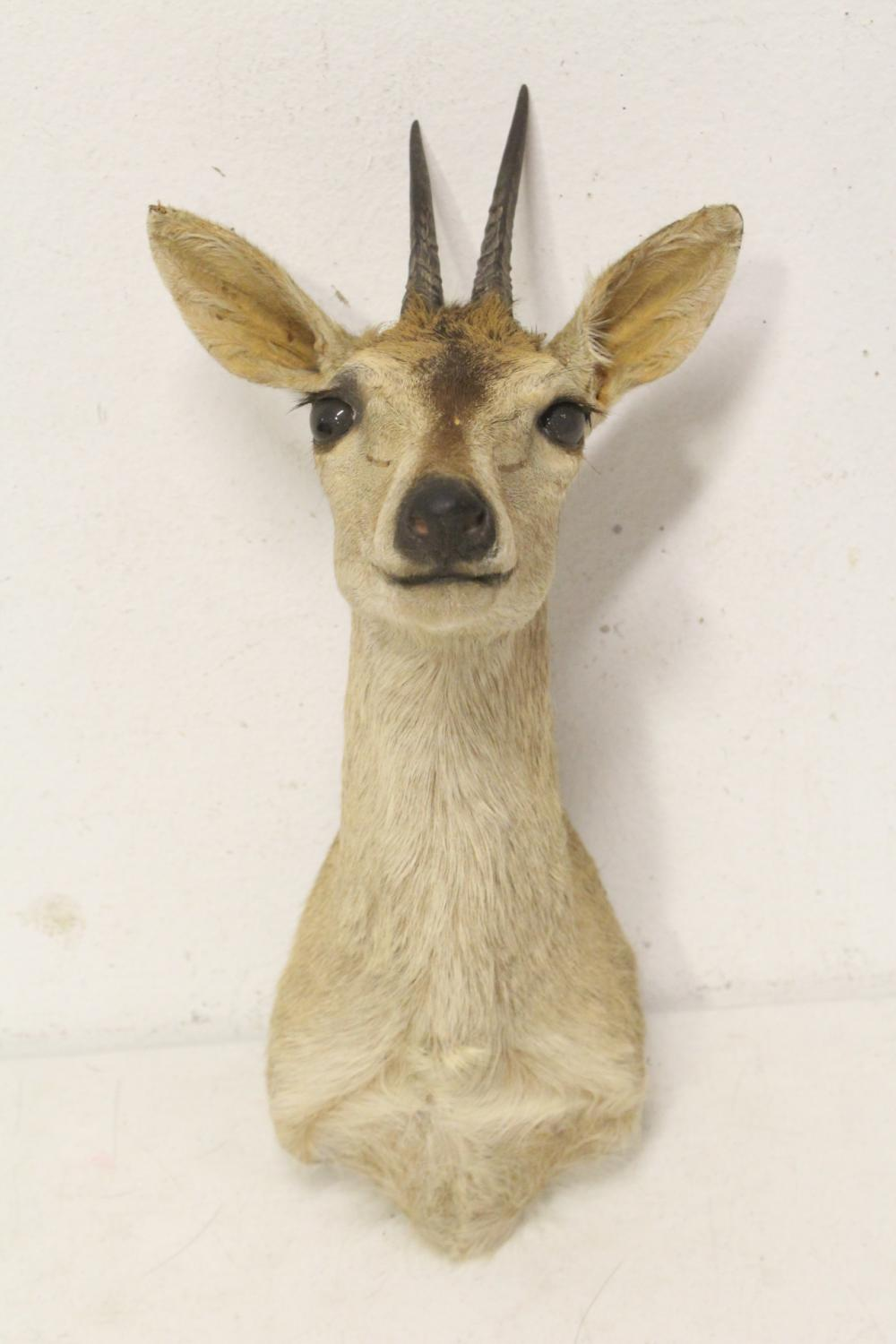 Taxidermy of mountain sheep