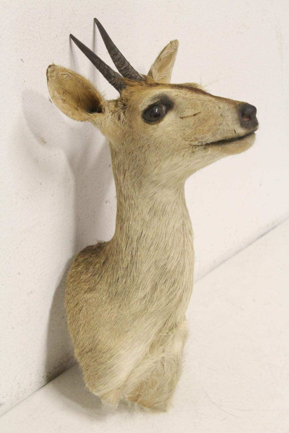 Lot 127: Taxidermy of mountain sheep