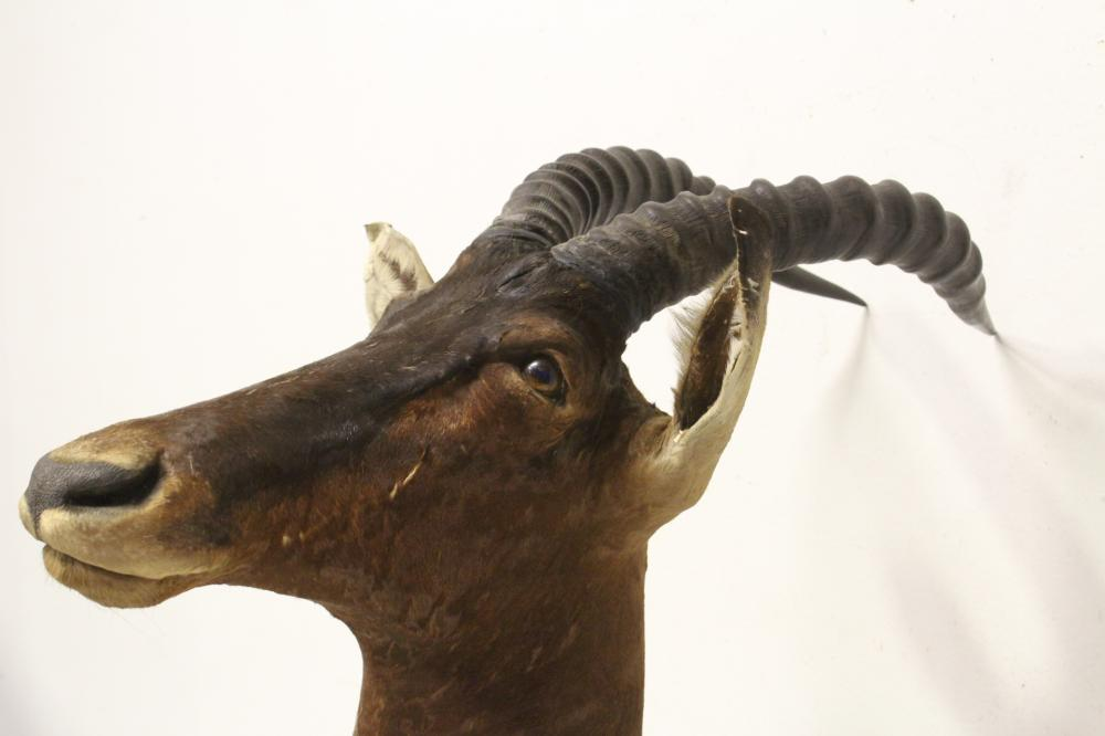Lot 130: Taxidermy of large mountain sheep