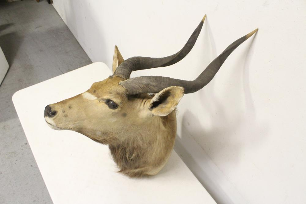 Lot 129: Taxidermy of mountain sheep