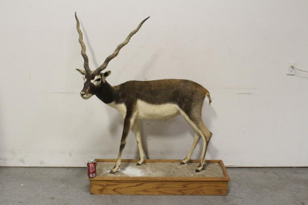 Taxidermy of full body of mountain sheep