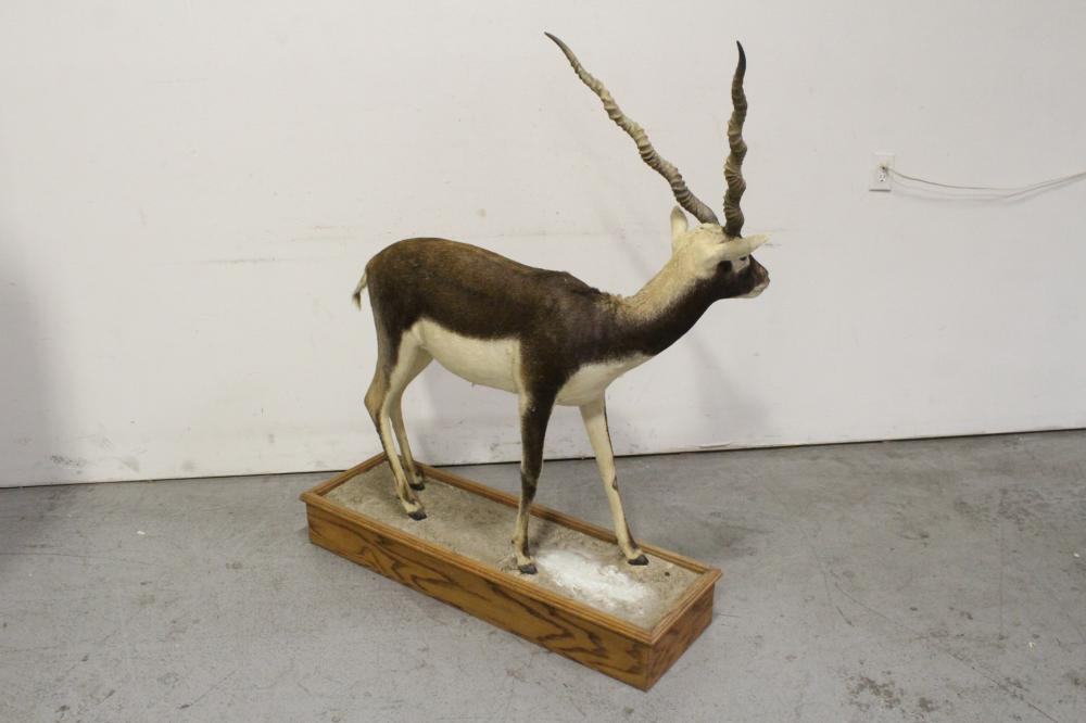 Lot 131: Taxidermy of full body of mountain sheep