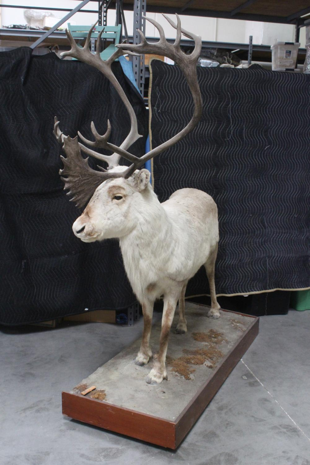 A massive full body taxidermy caribou