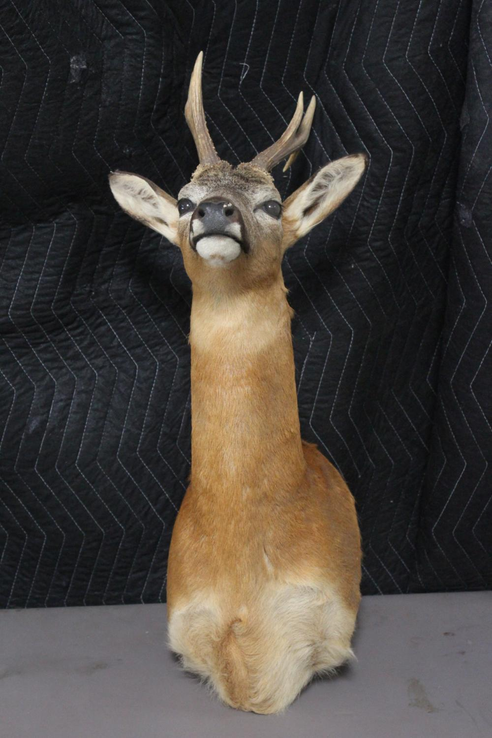 Taxidermy of mountain goat, shoulder mount
