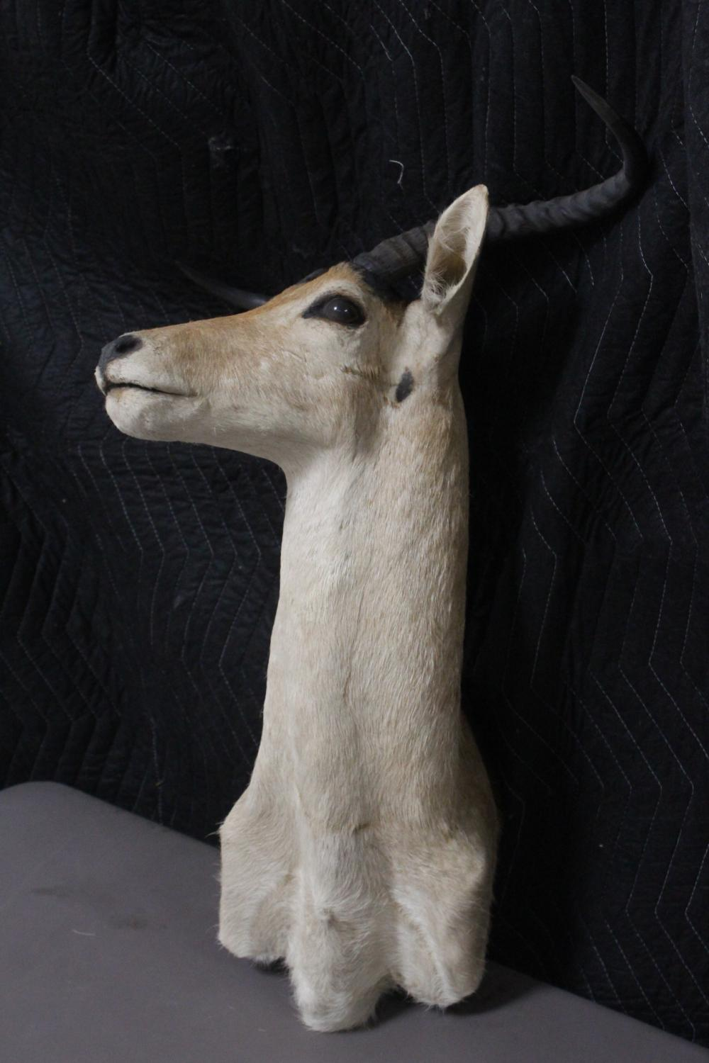 Lot 136: Taxidermy of mountain goat, shoulder mount