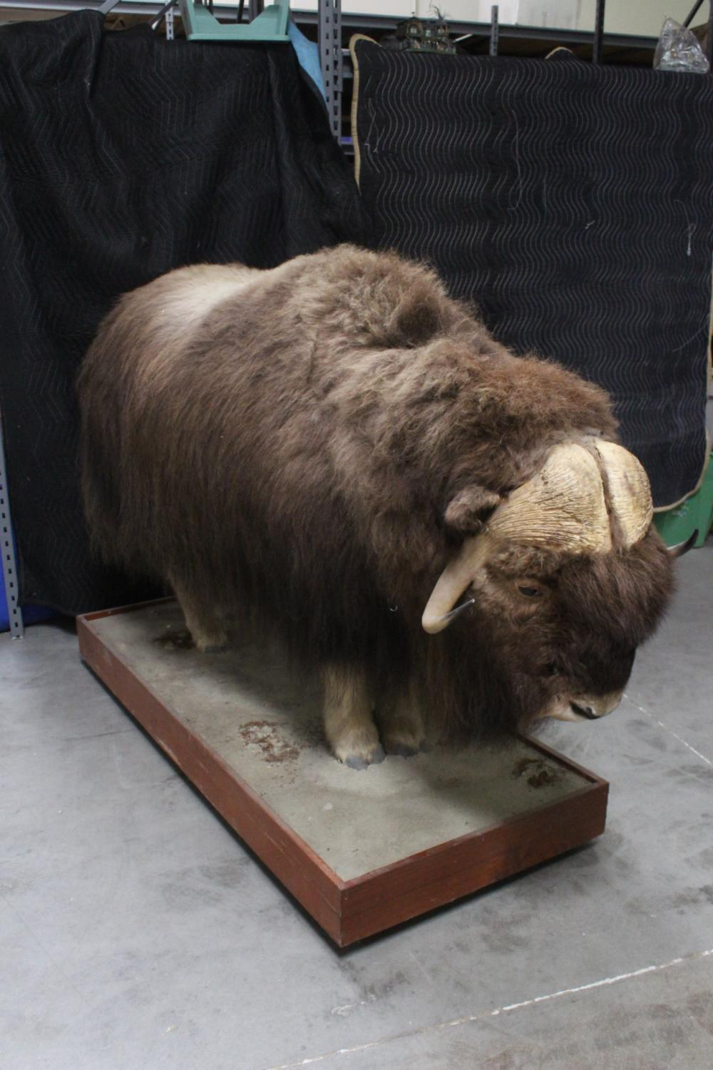 A rare full body taxidermy of musk ox