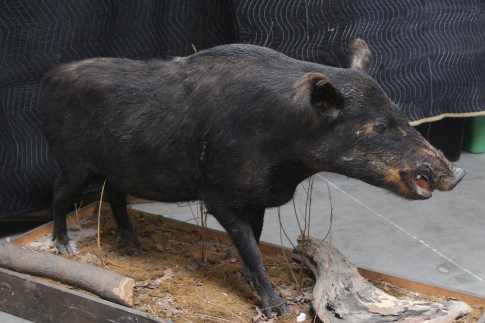 Lot 137: A rare full body taxidermy of Russian boar