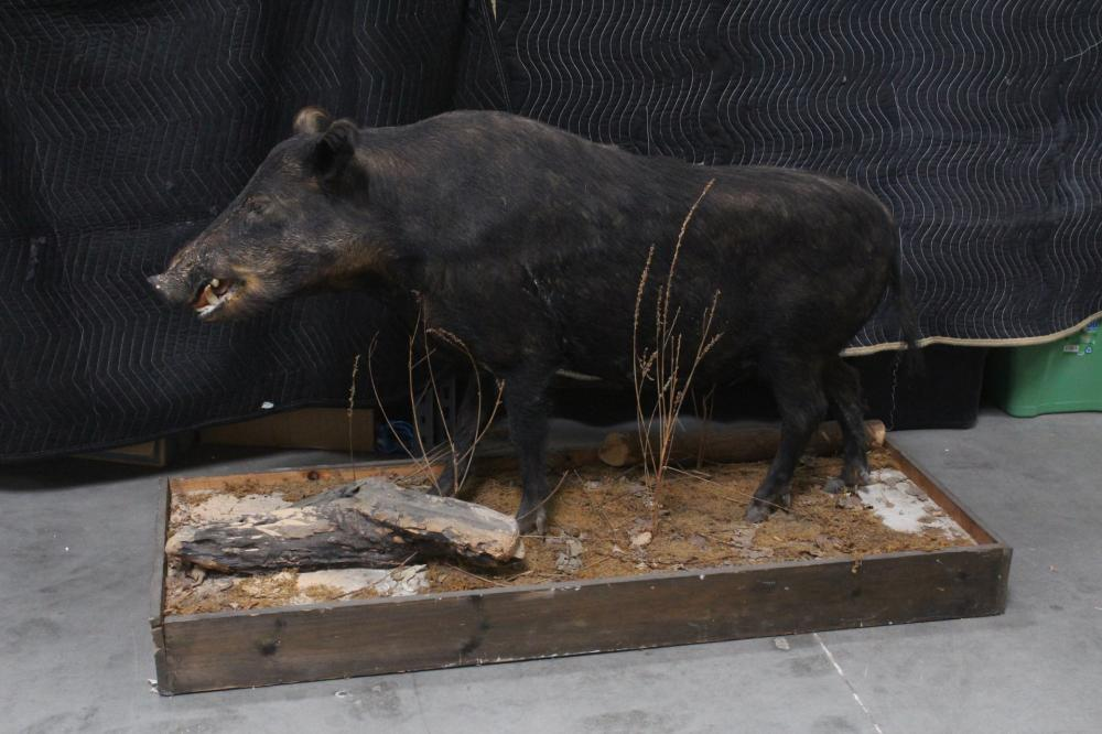 A rare full body taxidermy of Russian boar