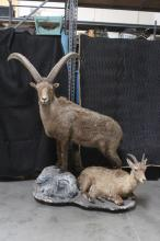Lot 141: A rare double full body taxidermy of Alpine ibex
