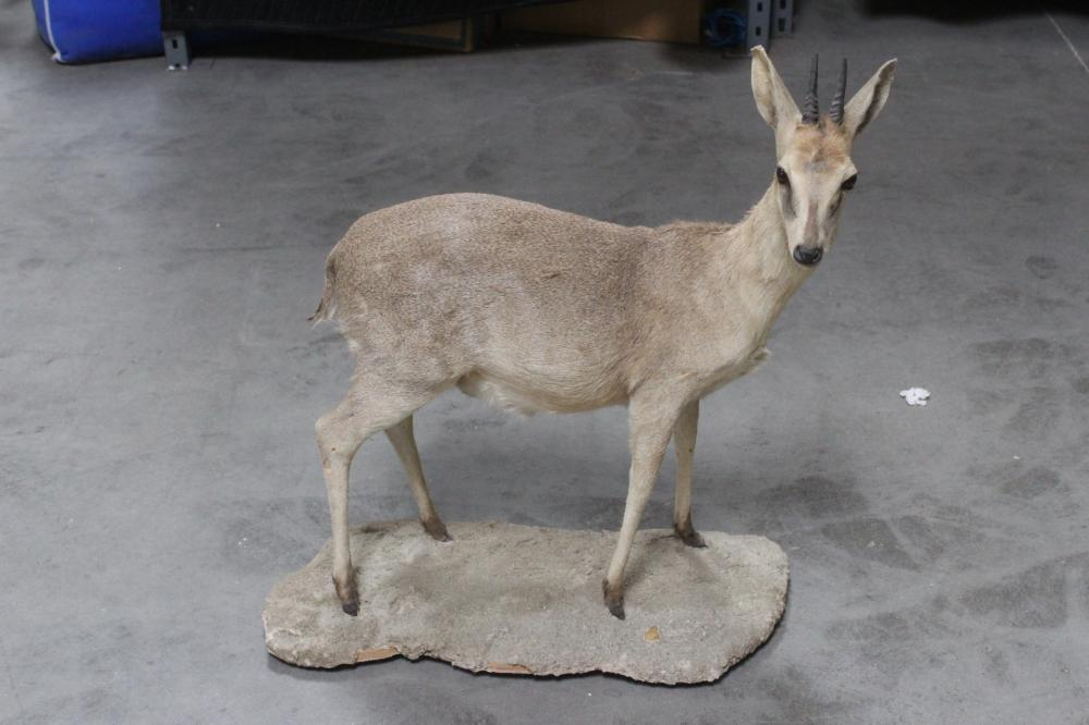 A full body taxidermy of mountain goat