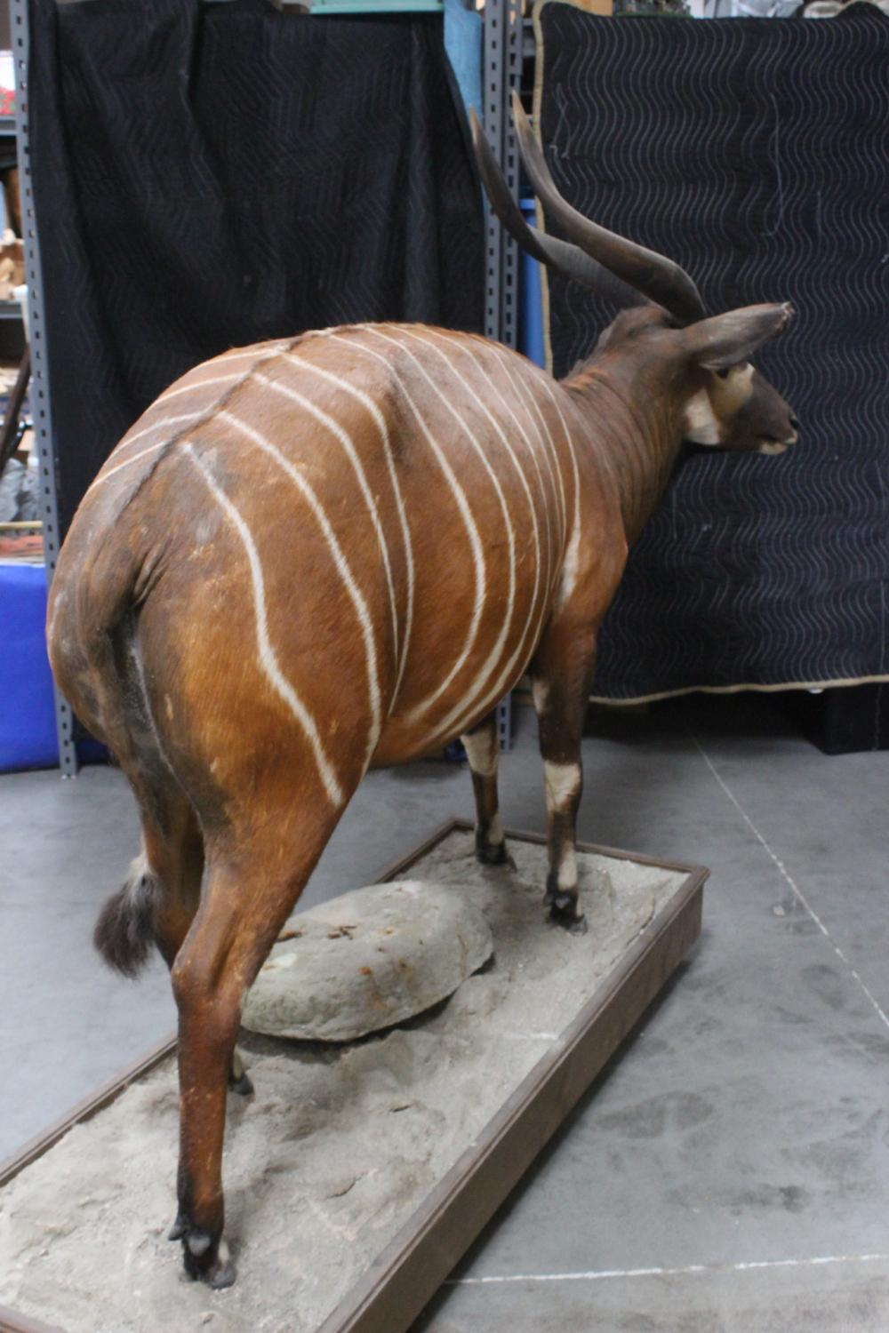 Lot 143: An extremely rare full body taxidermy of bongo