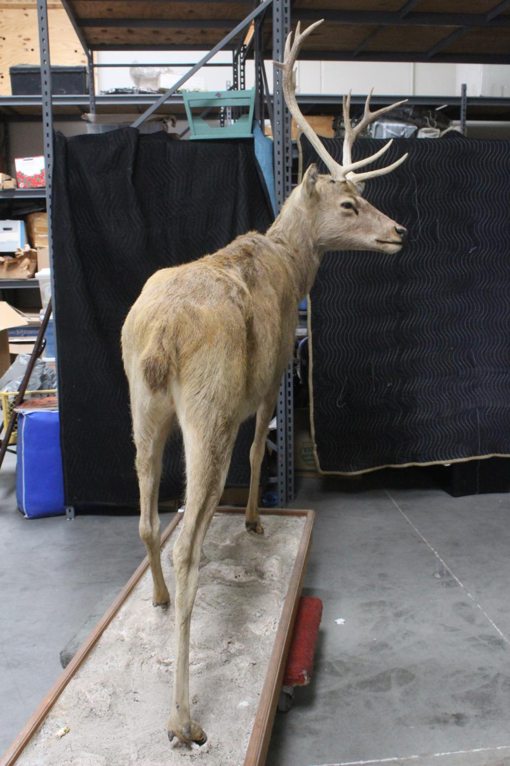 Lot 144: A large full body taxidermy of mountain goat