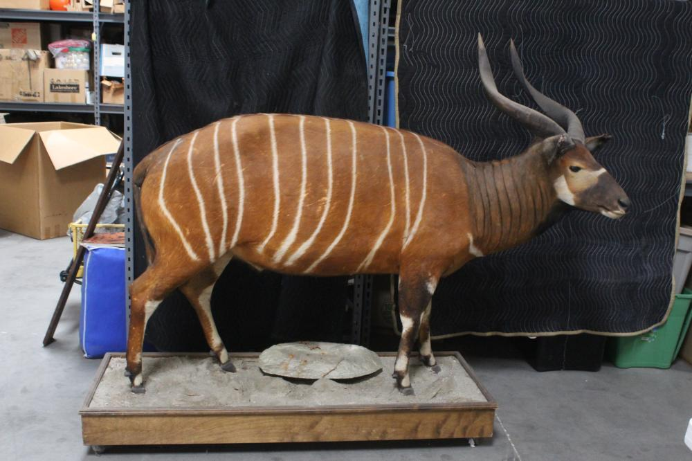 An extremely rare full body taxidermy of bongo