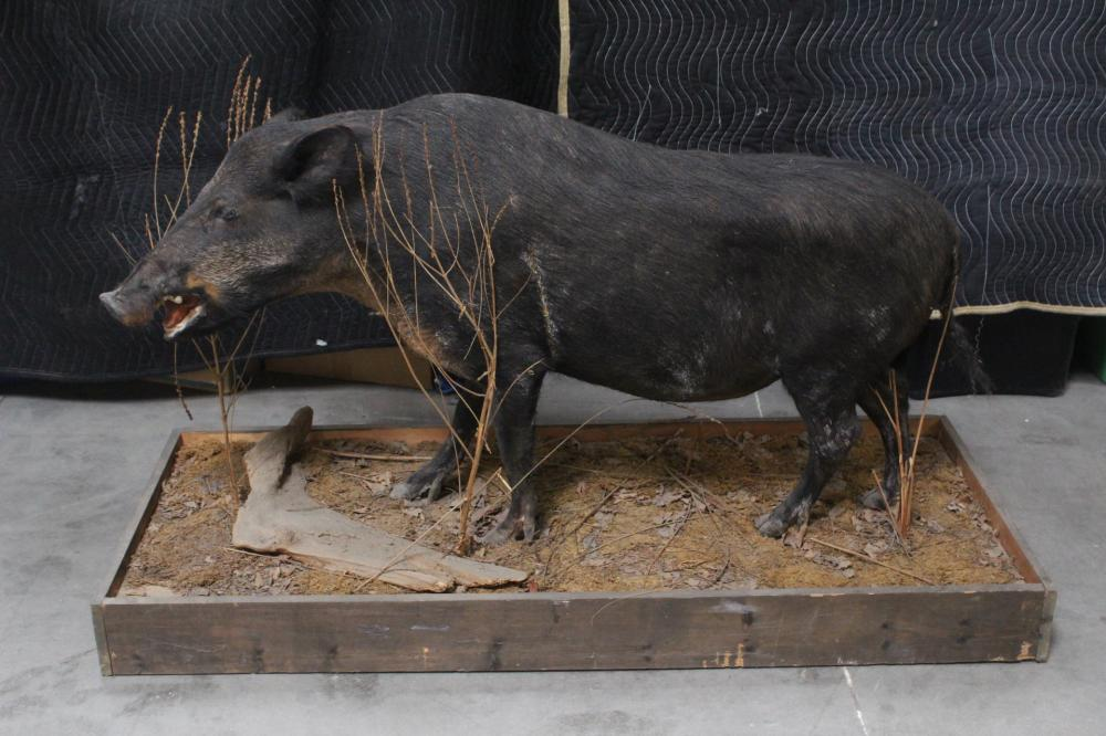 A full body taxidermy of Russian boar