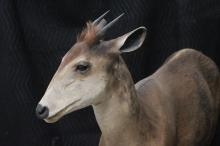 Lot 146: A full body taxidermy of duiker