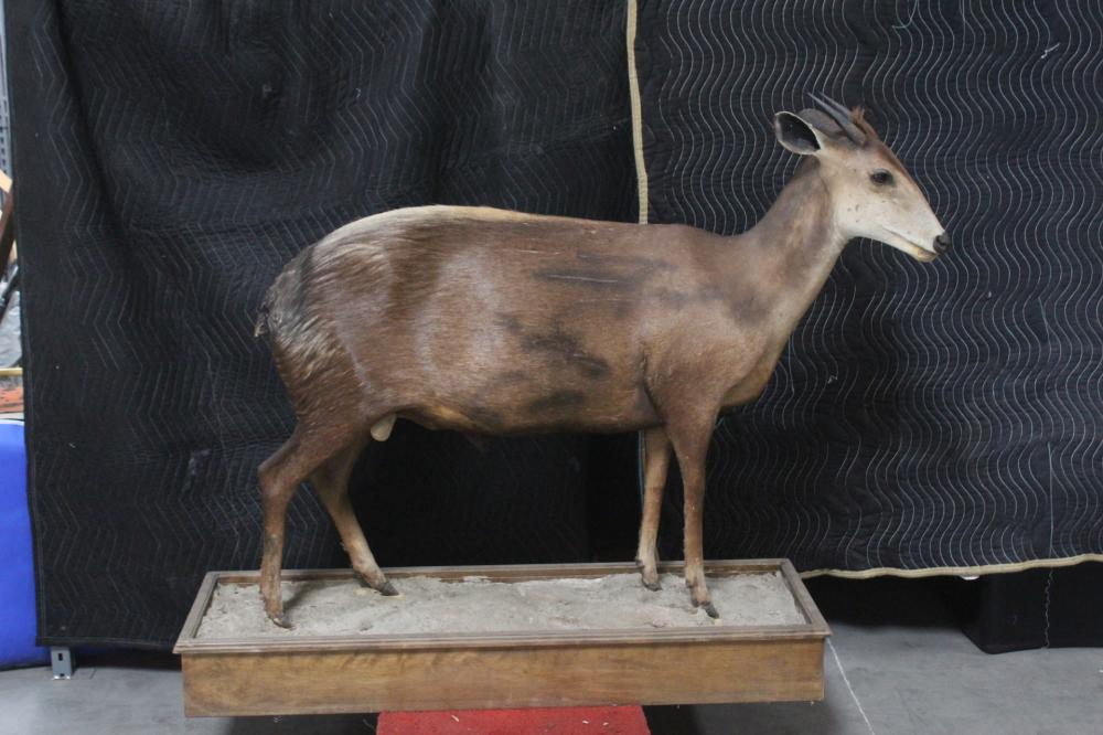 A full body taxidermy of duiker