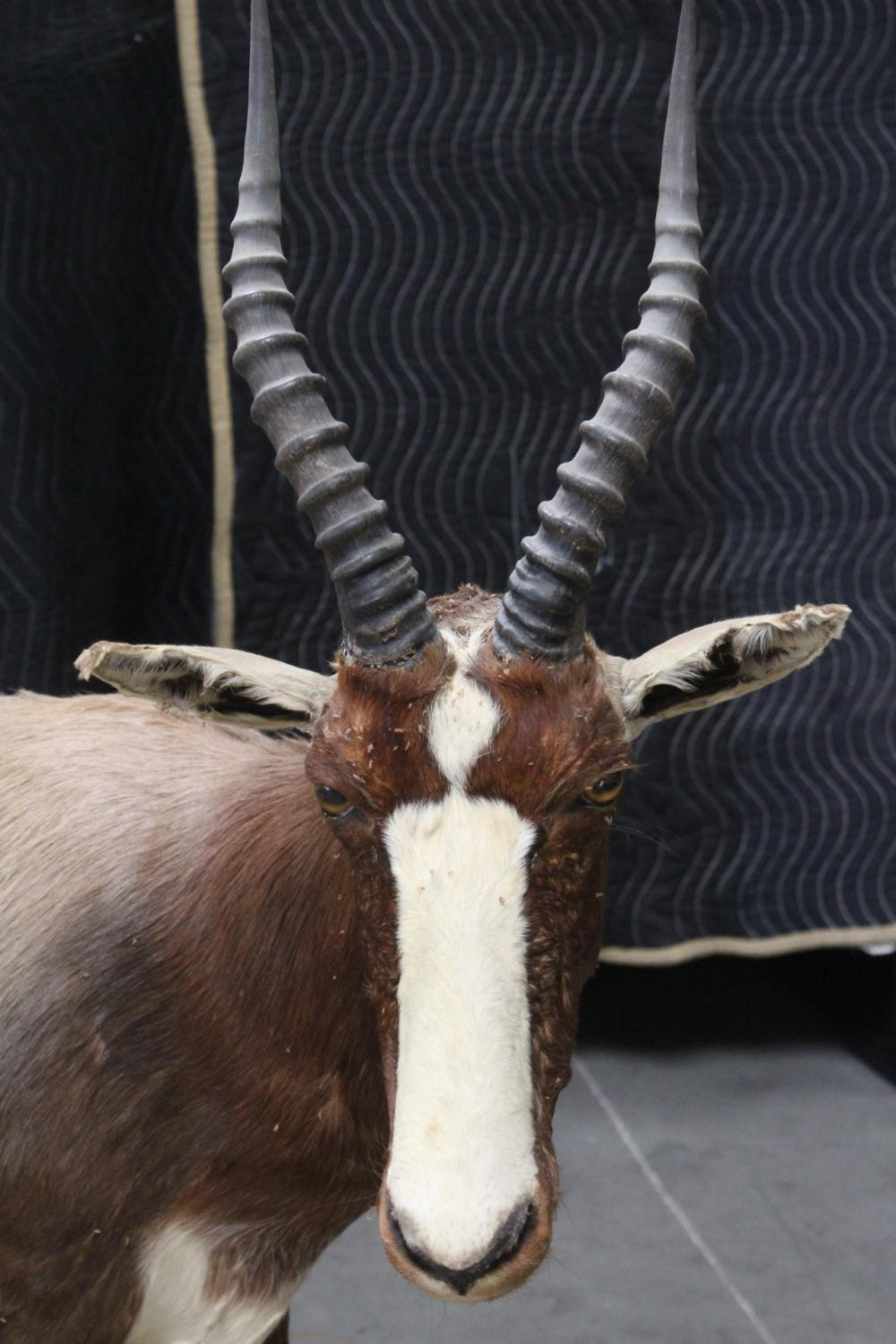 Lot 148: A full body taxidermy of mountain goat