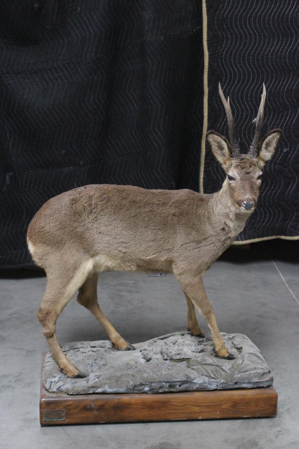 A full body taxidermy of prong duiker