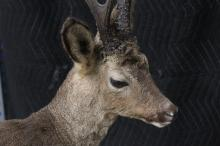 Lot 149A: A full body taxidermy of prong duiker