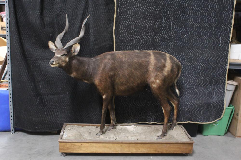 A rare full body taxidermy of sitatunga