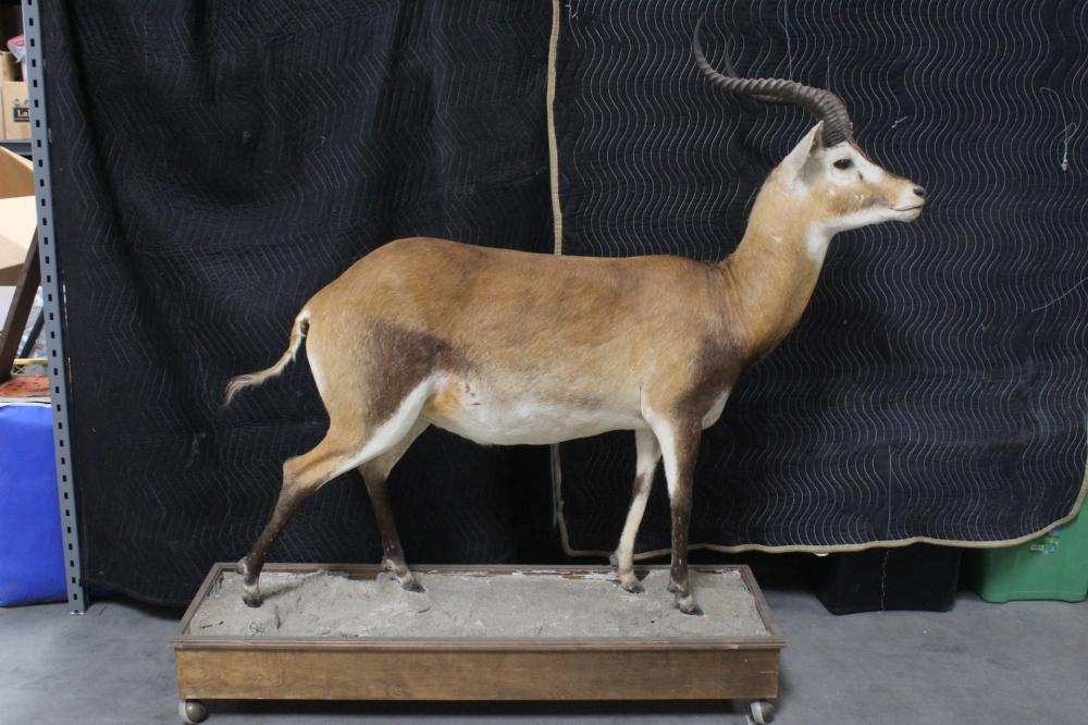 A large full body taxidermy of impala