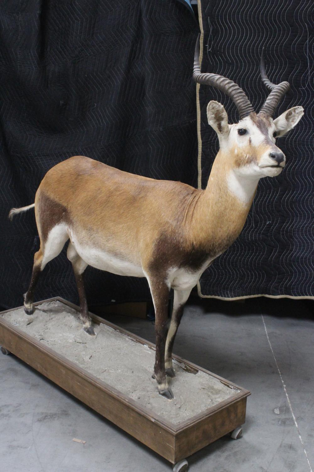 Lot 150A: A large full body taxidermy of impala