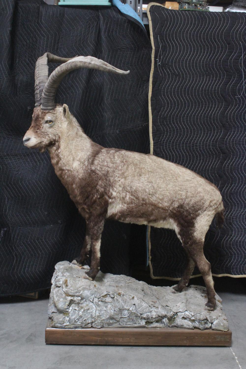 A large full body taxidermy of Spanish ibex