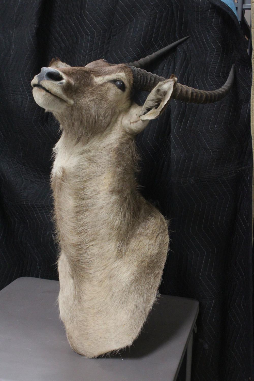 Lot 183: A large shoulder mount of big horn