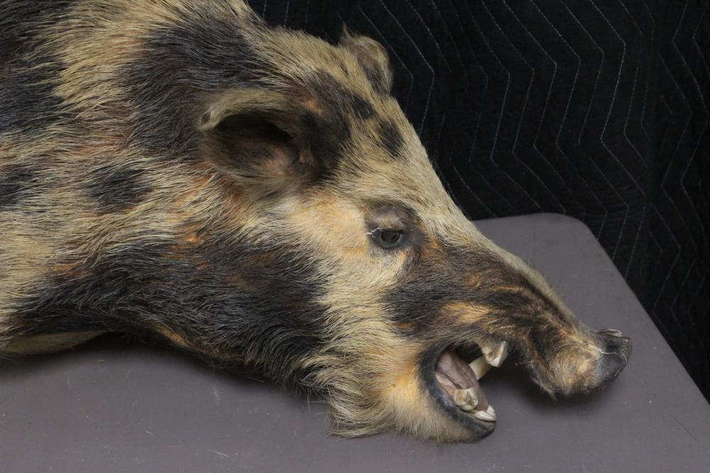 Lot 184: A shoulder mount taxidermy of boar