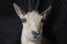 Lot 186: A shoulder mount taxidermy of mountain goat