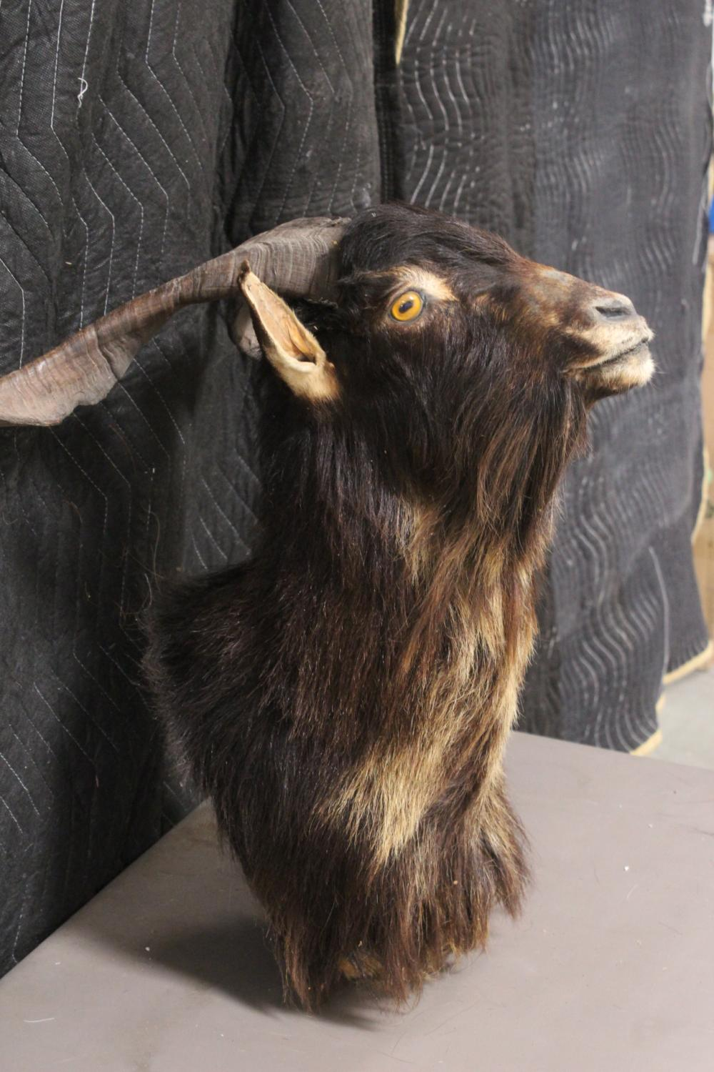 Lot 188: A shoulder mount taxidermy of mountain goat