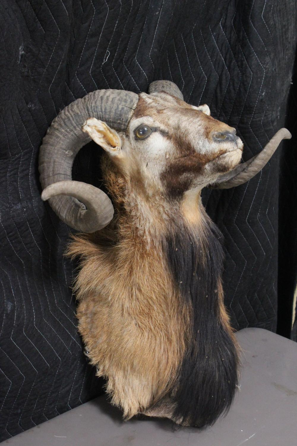 A shoulder mount taxidermy of long horn