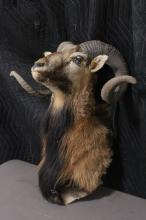 Lot 189: A shoulder mount taxidermy of long horn
