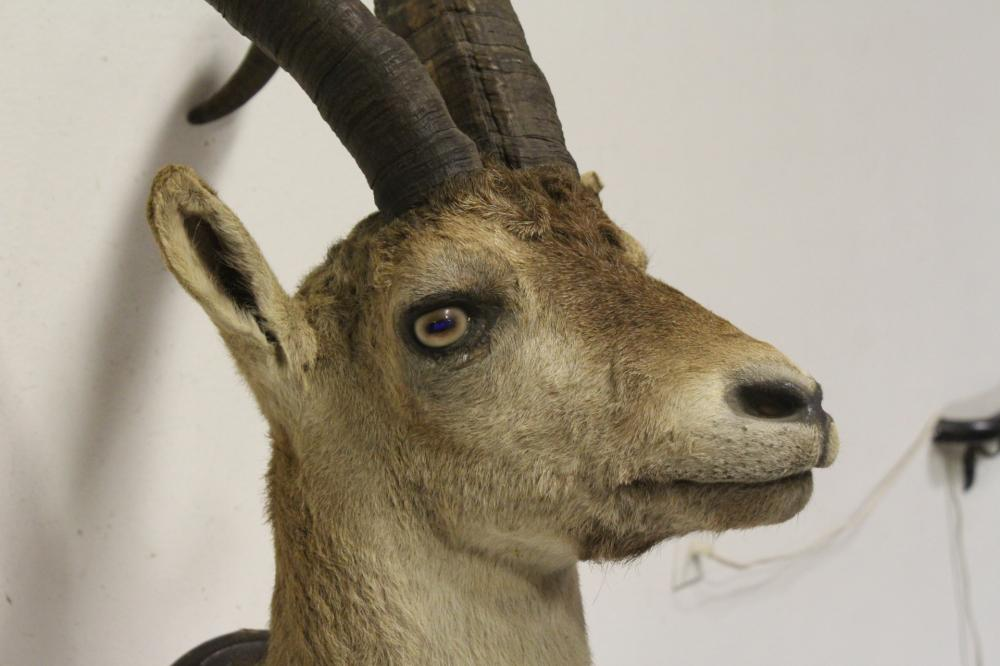 Lot 138: A shoulder mount of taxidermy of big horn