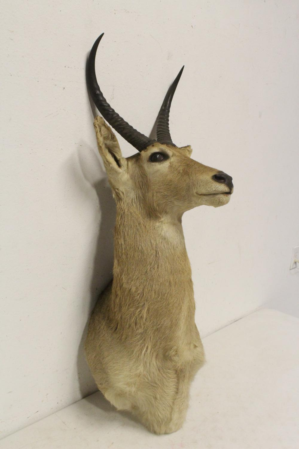 Lot 142: A shoulder mount taxidermy of mountain goat