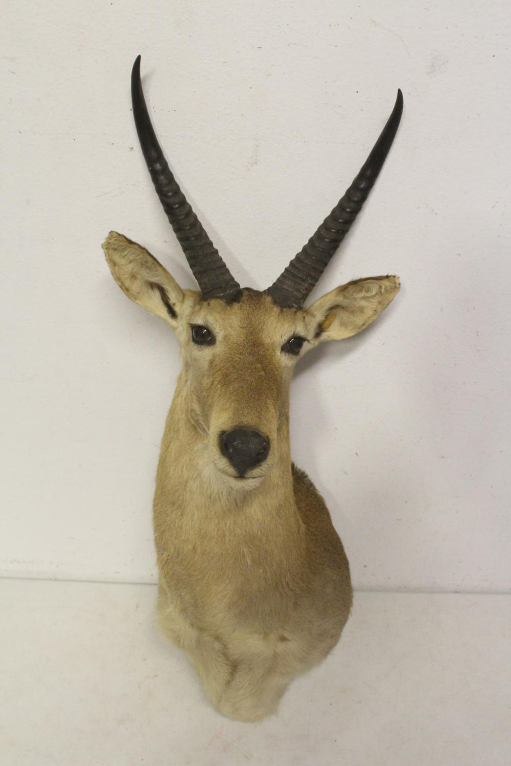 A shoulder mount taxidermy of mountain goat