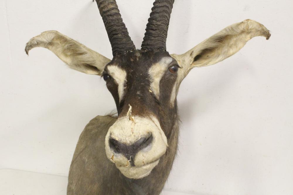 Lot 40: large shoulder mount taxidermy of long horn