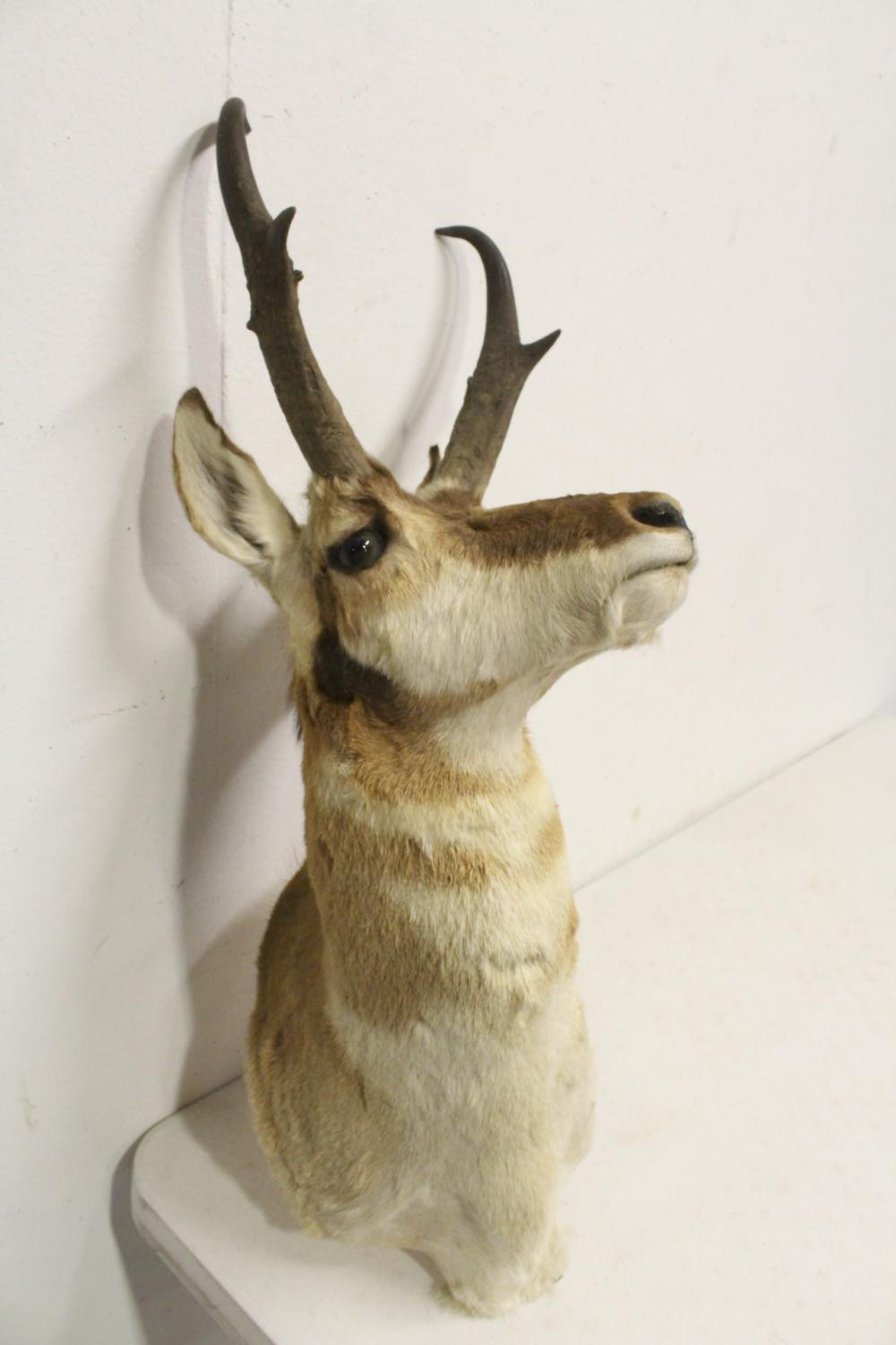 Lot 41: 2 shoulder mount taxidermy of mountain goat